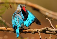 halcyon senegalensis (tdwrsa) Tags: krugerpark lowersabie woodlandkingfisher halcyonsenegalensis sunsetdam canoneos70d tamronsp150600mmf563divcusda011