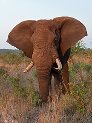Elefante-dic.2015_1866 (Marco Pozzi photographer (750k+ views, thanks)) Tags: africa elephant southafrica krugernationalpark kruger africanelephant elefante pozzi sudafrica specanimal marcopozzi marcopozziphotographer