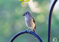 Tufted Titmouse (kn4ds) Tags: bird animal outdoor titmouse tuftedtitmouse