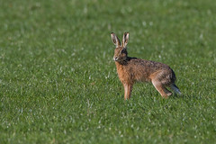wet hare (dale 1) Tags: wild wet animal big hare fast ears running