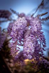 Primavera (Spring) (Dibus y Deabus) Tags: flowers españa flores primavera canon spring spain gijón asturias gijon 6d