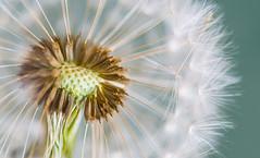 Diente de Len (AlbertoRnd) Tags: espaa white macro verde primavera nature beautiful landscape spring spain nikon soft natural paisaje dandelion tamron suave diente extremadura macrofotografa natulareza