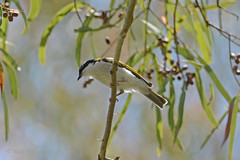 White-throated Honeyeater (Melithreptus albogularis) (Keefy2014) Tags: honeyeater whitethroated melithreptus albogularis