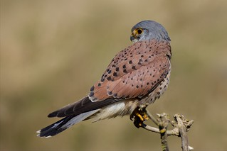 Kestrel (Explored 25-03-16)