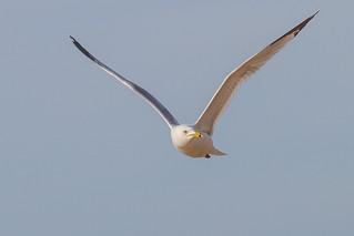 Gull- Lake Erie