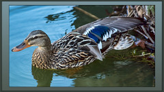 Mrs. Mallard (I) (gtncats) Tags: park lake nature female canon outside outdoors duck pond wildlife feathers frame gradient mallard fowl waterfowl matte mallardduck potofgold ef70300mm canon70d gradientborder