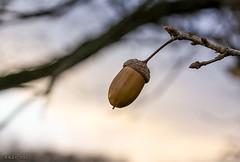 """An der """"Weien Elster"""", Eichel (joergpeterjunk) Tags: bokeh pflanze himmel baum eichel eiche abendlicht tiefenschrfe canonefs1785mmf456isusm auwald canoneos50d"""