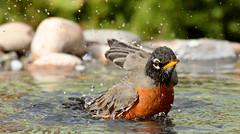American Robin (4357) (Bob Walker (NM)) Tags: usa newmexico bird americanrobin losalamos amro turdusmigratorius