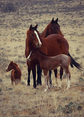 Moma's Don't Let Your Babies Grow up to be Cowboys (It Feels Like Rain) Tags: horses horse mare westtexas equine mares filly fillies foal foals