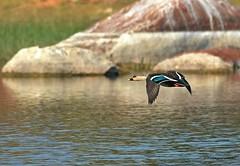 Spot billed Duck (venugopal bsnl) Tags: googleimages spotbilledduck serilingampally venugopalbsnl