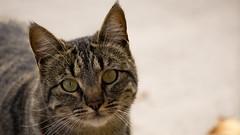Pepa Posando (Miguel ngel Gutirrez Lpez) Tags: naturaleza nature cat eyes ojos gato mascotas