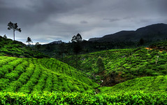 Tea party (Saint-Exupery) Tags: leica tea plantation srilanka te plantacion
