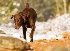 The Look (KB RRR) Tags: colorado rockymountains frontrange chocolatelabrador shyla