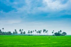 landscape of Kerala ([s e l v i n]) Tags: wallpaper india green nature kerala greenery backwaters allepy allapuzha greenearth backwatersofkerala keralatourism keralatravel allepybackwaters picturesofkerala selvin