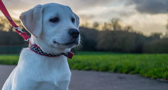 Millie (dolbinator1000) Tags: park winter dog white field animal puppy labrador retriever depth