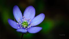 Frhling // Springtime (seyf-ART) Tags: flowers macro forest wald springtime frhling