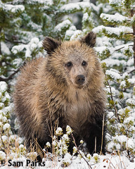 GB415 (Sam Parks Photography) Tags: autumn trees winter baby snow fall animal closeup forest rockies mammal cub woods nps snowy wildlife young large headshot valley yellowstonenationalpark rockymountains wyoming tight predator coy juvenile carnivorous reproduction offspring carnivore ynp biggame firstyear parkservice grizzlybear predatory reproduce silvertip gye omnivorous ursidae carnivora omnivore ursine ursusarctoshorribilis verticalorientation greateryellowstoneecosystem northamericanbrownbear cuboftheyear springcub hyperphagia