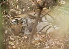 Royal Bengal Tiger (Gary Faulkner's wildlife photography) Tags: bandhavgarhtigerreserve royalbengaltiger