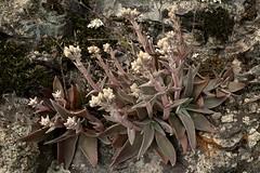 Dudleya lanceolata, LANCE-LEAVED DUDLEYA (openspacer) Tags: crassulaceae dudleya pinnaclesnationalpark