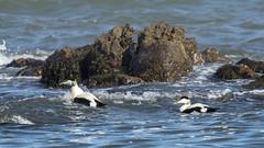 Eider at Kingsbarns 001 (KeithProvenArtist) Tags: sea birds coast scotland fife shore eider kingsbarns