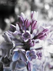 My lilac bush (Retro Focus Eyewear & Back Thennish Vintage) Tags: flowers photography bush soft pastel grunge lilac greys muted pastelgrunge