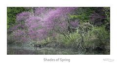Shades of Spring (baldwinm16) Tags: nature season illinois spring midwest shoreline il april redbud mortonarboretum natureofthingsphotography