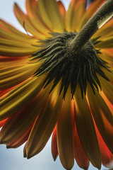 Gerberas Back - April 2016 (GOR44Photographic@Gmail.com) Tags: red flower macro green yellow canon petals gerbera 100mmf28 canon100mm 60d gor44