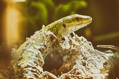 DSC04134 (DarGe89) Tags: light macro green nature yellow colorfull lizard molt muta lucertola