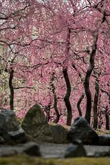 20160229-101948_5K_80 (pya) Tags: kyoto  camellia plumblossoms jonangu     weepingplumblossoms