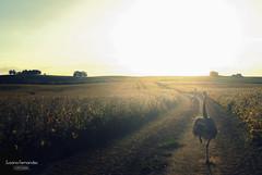 'Adis pampa mia..' (Suzana Fernandes Fotografia) Tags: sol animal rio de grande do mia avestruz movimento rapido soja por ema sul campos tarde pampa nandu adios lavoura monocultura agronegcio ligeiro tupanciret correrndo