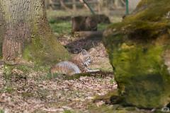20160402-_MG_0306.jpg (Tosama) Tags: frhling luchs tierwelt wildparkschlosstambach
