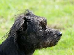 on a long walk today (BrigitteE1) Tags: dog buddy bestfriend mrb yorkeshiremix buddylein onalongwalktoday