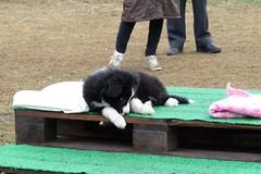 <3 (DanielOssino_EducatoreCinofilo) Tags: dog cute love dogs cane puppy collie border cutie class dolce bordercollie amore cucciolo cani cuccioli puppyclass tenera