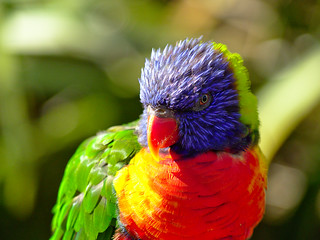 Rainbow Lorikeet close.