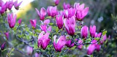 Mulan magnolia (qooh88) Tags: tree magnolia shrub tulipmagnolia mulan   magnoliaceae  mulanmagnolia lilymagnolia woodyorchid       magnoliaquinquepeta magnolialiliiflora dciduous