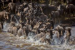 it was all a blur (v_ac_md) Tags: kenya ke gnu wildebeest masaimara marariver narok greatmigration2012