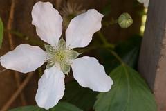 Common Blackberry flower (Ken Slade) Tags: flower blackberry common
