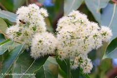 A macro of a flower of Eucaliptus, El Salvador (ssspnnn) Tags: flor arbor eucalyptus elsalvador arvore nunes sansalvador eucalipto eucaliptus flordeeucalipto myrtaceaefamily melliodora canoneos70d spereiranunes snunes spnunes