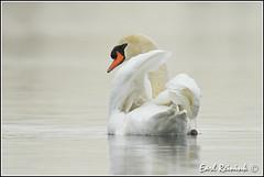 Mute Swan (Earl Reinink) Tags: swan nikon earl d5 muteswan naturephotography nikond5 earlreinink reinink reaaauhdra
