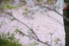 20160410-DSC_8515.jpg (d3_plus) Tags: sky plant flower history nature japan trekking walking temple nikon scenery shrine bokeh hiking kamakura fine daily bloom  28105mmf3545d nikkor    kanagawa   shintoshrine   buddhisttemple dailyphoto   thesedays kitakamakura  28105   fineday   28105mm  historicmonuments  zoomlense ancientcity       28105mmf3545 d700 281053545 nikond700  aiafzoomnikkor28105mmf3545d 28105mmf3545af aiafnikkor28105mmf3545d
