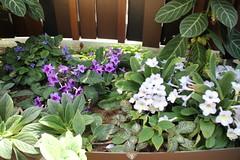 IMG_2462 (Mercar) Tags: canada garden botanical montreal jardin greenhouse botanic botaanikaaed qubeck