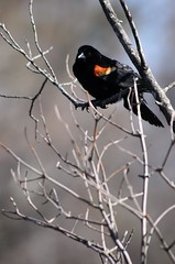 Blackbird Singing in the Dead of Day (jpr_me) Tags: bird outdoors spring nh april marsh blackbird nashua 2016 minefallspark blindphotographer d7000 easternblackbird