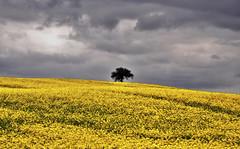 _DSC1544 -Arbre solitaire (Le To) Tags: flowers nature fleurs jaune nikon solitude fiori extrieur arbre colza nikond5000