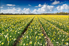 noordwijkerhout (heavenuphere) Tags: flowers white flower netherlands yellow landscape carpet spring europe nederland daffodil noordwijk zuidholland noordwijkerhout bollenstreek bulbfields southholland 24105mm