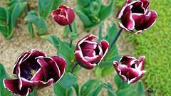 Tulipe Triomphe cv Fontainebleau (henri.drouin) Tags: paysage nantes tulipe jardindesplantes paysdeloire exterieur artflorale