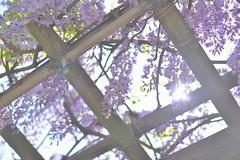 Wisteria (Kosei.S) Tags: city plant flower japan japanese tokyo nikon asia roppongi wisteria d800