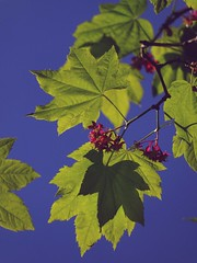 Blooming Vine Maple (Chancelrie) Tags: plant tree maple outdoor acer vinemaple acercircinatum