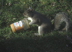 Squirrel vs Peanut Butter Jar IMG_4345 (Ted_Roger_Karson) Tags: camera animal yard canon miniature back video squirrel hand outdoor powershot telephoto series hd held pocket hs compact northernillinois handheldcamera thisisexcellent squirrelseries canonpowershotsx280hs
