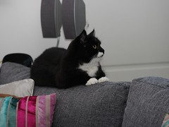 Tussi on the new couch (vanstaffs) Tags: t tuxedocat tux tutu tusse tussi tuzz tuxedogirl myprettytuxedogirl tuzz®