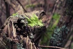 Broken (Sam-Smith) Tags: brown tree green broken moss branch break crack bark splinter split
